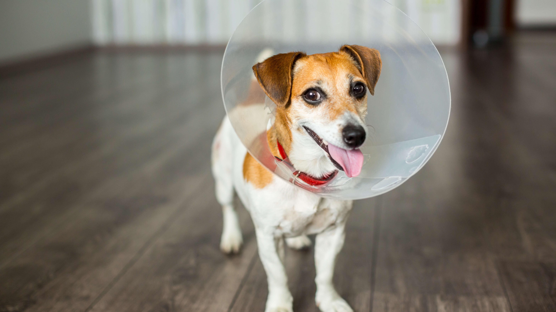 spay-my-dog