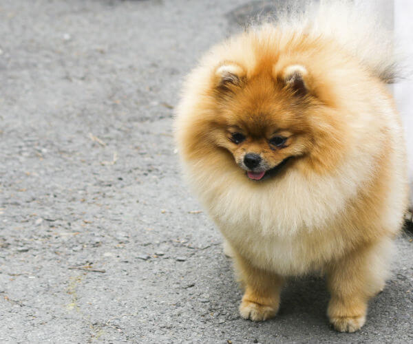 Tracheal Collapse in Dogs, Is Your Pet at Risk?
